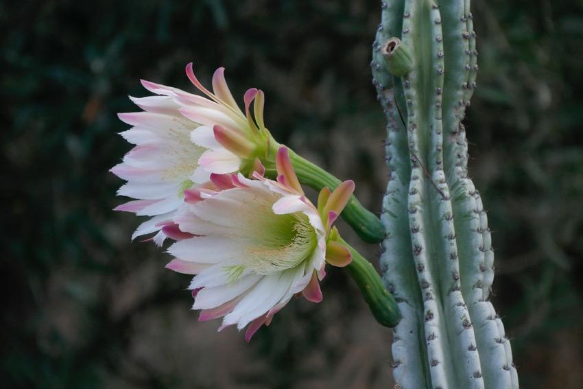 34a cactus stromboli